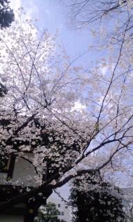 神社の桜とランチとヒール靴